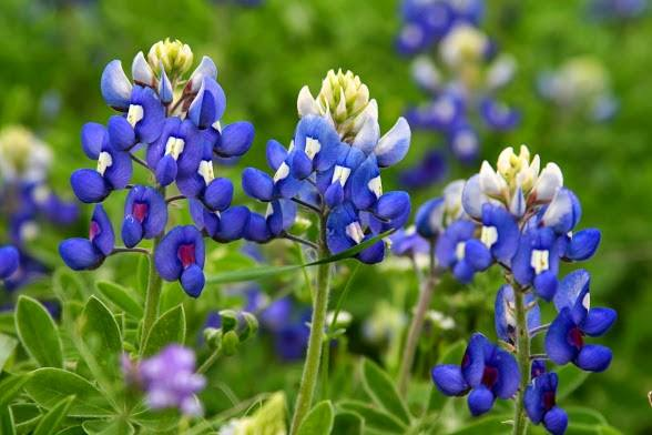 Bluebonnets by Vikki Yost